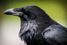 10 Fascinating Facts About Ravens | Mental Floss (bb: fascinating is not an overstatement. makes me wanna research...)