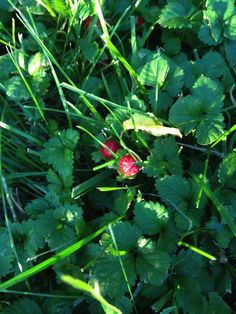 Wild Strawberries! I have these in my yard in Missouri, although not so edible.