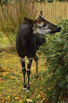 Okapi Chester Zoo, Okapi, Most Beautiful Animals, Giraffe, Bucket, Horses, Cute Animals, Animal Kingdom, Felt Giraffe