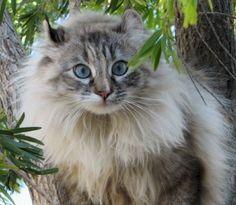 ♥CG♥ 4 American Bobtail Cat Origin: United States Hybrid: Wild ...