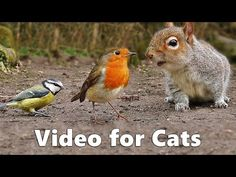 Video for Cats to Watch : Squirrels and Birds Extravaganza Video Produced by Paul Dinning - Wildlife in Cornwall Pretty Cats, Cute Cats, Pretty Kitty, Squirrel Video, Catching Mice, Cat Entertainment, Bird Gif, Kitty Games, Aquarium Fish Tank