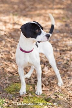 Georgia Jack Russell Rescue, Adoption and Sanctuary | Jax #cutest #adoptable…  Check out our dog training tips at http://bestdogcratesandbeds.com!