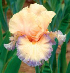 Parisian Dawn   Tall Bearded Iris  Schreiner's Iris Gardens