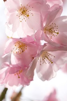 Blossoms of early flowering cherry tree, Prunus Accolade