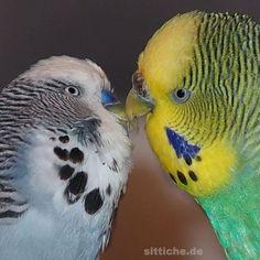 Küssende Wellensittiche. ❤️😍 ℒℴ✔️ℯ #wellensittichnet  #wellensittich  #wellensittiche Parrot, Bird, Animals, Instagram, Budgies, Parrot Bird, Animaux, Parrots, Birds