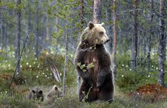 A bear and her babys in finish forest, Finland