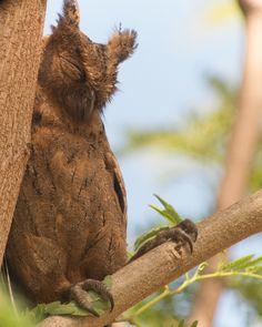 Sleeping Scops Owl Pinned by www.myowlbarn.com