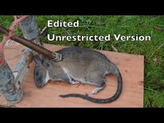 Spanish Windlass Survival Trap in Action. Unrestricted Version. Eating Rats - YouTube