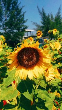 Types Of Flowers, Love Flowers, Sun Flowers, Flower Images, Flower Art, Growing Sunflowers, Sunflower Pictures, Sunflower Flower, Flowers Nature