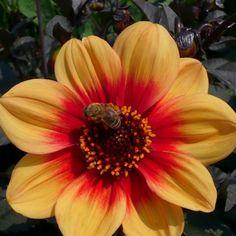 dahlia 'roxy' (dahlia nain simple) : vivaces originaires du