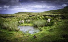 Isle of Skye, Schottland by Jörg Schumacher | einfachMedien.de on 500pxSchottland, Schafe , Landschaft, Landschaftsfotografie, Fotografie, Nikon, D800, EinfachMedien, JoergSchumacher, Scotland, Sheep, Landscape, Landscapephotography