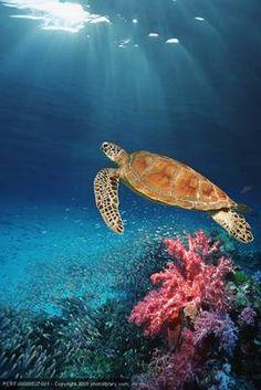 sabah coral - Google Search