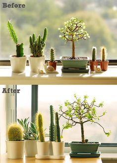 Windowsill Garden #cactus #bonsai #garden