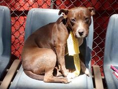 ~~SCARED 2 YR OLD GAL TO BE DESTROYED 7/24/14~~ Manhattan Center -P My name is JENNY. My Animal ID # is A1005599. I am a female brown and white pit bull mix. The shelter thinks I am about 2 YEARS   I came in the shelter as a RETURN on 07/18/2014 from NY 11226, owner surrender reason stated was PERS PROB.