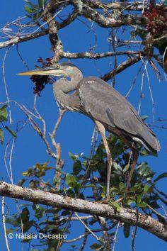 Great Blue Heron near San San Pond Sak in Bocas del Toro, Panama