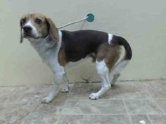 TO BE DESTROYED - 05/23/14 Brooklyn Center   My name is BRUCE aka NICE. My Animal ID # is A0998934. I am a neutered male brown and white beagle mix. The shelter thinks I am about 5 YEARS old.  I came in the shelter as a OWNER SUR on 05/06/2014 from NY 11418, owner surrender reason stated was ATT PEOPLE. https://www.facebook.com/photo.php?fbid=800121293334085&set=a.611290788883804.1073741851.152876678058553&type=3&theater