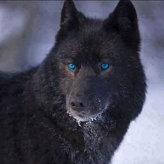 Bello lupo nero Beautiful black wolf black-wolf-dominant retriever man dot com jpg Wolf Photos, Wolf Pictures, Wolf Love, Wolf Spirit, Spirit Animal, Beautiful Wolves, Animals Beautiful, Beautiful Eyes