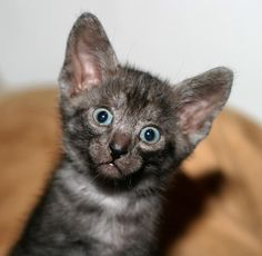 Is this cute or what! Egyptian Mau kitten