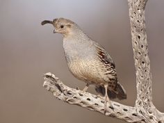 Perched Gambel's Quail (Female) | Flickr - Photo Sharing! jeff dyck