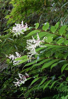 Smilacina oleracea White Gardens, Flowers, Plants, Plant, Royal Icing Flowers, Flower, Florals, Floral, Planets