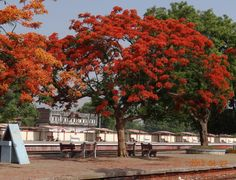 Gulmohar: is a species of flowering plant noted for its fern-like leaves and flamboyant display of flowers. 'Gul' means 'Flower' and 'Mohr' is 'coin or stamp'. Flamboyant, Planting Flowers, Leaves, Display, Mansions, Fern, House Styles, Plants, Pictures