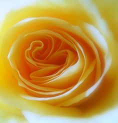Folds in a rose