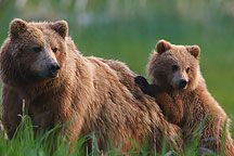 Sow With Cub Photos
