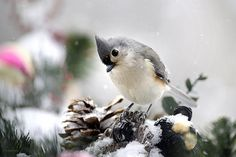 Playful Winter Titmouse by Christina Rollo © www.rollosphotos.com. Close-up front view of a cute Tufted Titmouse (Baeolophus bicolor), perched on holiday decorations in the snow. #bird #art #rollosphotos #photography