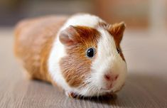 Guinea pigs could be ill sometimes. In this article, we will inform you about guinea pig diseases which you wondered or guinea pig may get. Guinea Pig Food, Pet Guinea Pigs, Guinea Pig Care, Small Animal Clinic, Peruvian Guinea Pig, Guinea Pigs For Sale, Guine Pig, Guinea Pig Accessories, Pigs Eating