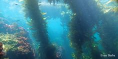Ecology Of Seaweed And Its Environmental Significance Aquatic Ecosystem, Kelp Forest, Mermaid Swimming, Marine Environment, Redwood Forest, Merfolk, Matte Painting, Book Projects, In The Tree