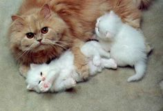 mother cat and her two white kittens ~ :) pic.twitter.com/wZxCzxD60Y