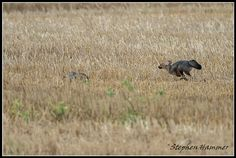 An interesting encounter between blue cranes and a Cape fox family in Cape Town. Fox Running, Crane, South Africa, Blue