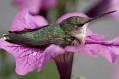 Humming bird at rest.