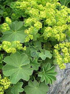 "Alchemilla mollis 'Select' ""Lady's Mantle"": for the shade garden , this is one tough-as-nails, clay-tolerant cookie, Lovely dense mounds of velvety apple green scalloped leaves that make just about the easiest, most reliable edger for shade. Garden Shrubs, Garden Landscaping, Alchemilla Mollis, Achillea, Dry Shade Plants, Shade Garden Plants, Woodland Garden, Garden Cottage, Seasonal Flowers"