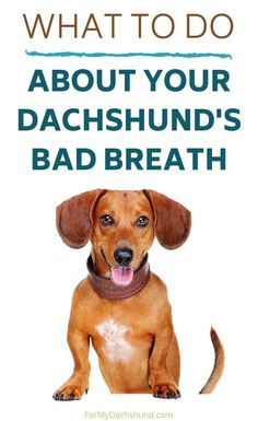 Does Your Dachshund Have Breath That Could Knock Someone Over