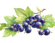 beautiful balance between natural/effortless and realistic | watercolor berries