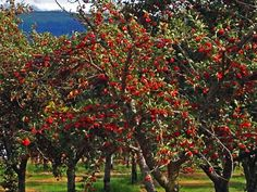 Sour Cherries in SE Kelowna Desert Climate, Sour Cherry, Selling Real Estate, My Town, Cherries, Golf Courses, World, Water, Places