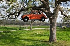 The Fruit of the Beetle Tree - Somewhere in Texas, there's a tree that grows the most marvelous fruit: classic Volkswagen Beetles. It grows only one a year, but it's worth the wait. Hey, don't act like that's a weird thing to say. After all, ratchet screwdrivers grow on trees.