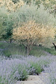 olive trees and lavender