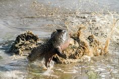 Mr Ross said: 'The crocodile began to perform all sorts of antics with the baby hippo, thr...