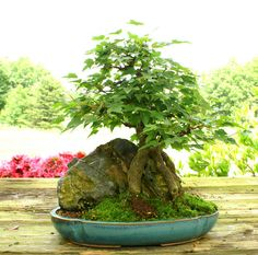 Bonsai Tree Trident Maple Root Over Rock Specimen Tmorst 124D | eBay