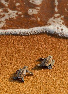 Bonne chance, bébés tortues !
