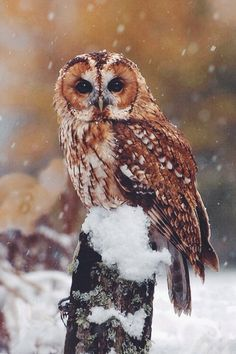 """wolverxne: """"Tawny Owl, Scotland 