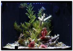 Beautiful SW tank with macro algae - Reef Central Online Community