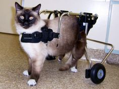 wheelchair for cats chair cover hire renfrewshire 36 best in wheelchairs images 2019 dog cat patty got her after suffering a spinal injury credit doggon wheels