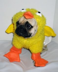 Little pug ducky, you're the one!
