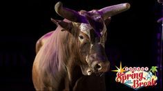 Professional Bull Riders - Bushwacker returning to Las Vegas for Cowboy Spring Break. - PUEBLO, Colo. – When the Professional Bull Riders (PBR) return to Las Vegas on May 22-24 for the fifth consecutive Last Cowboy Standing, PBR's legendary bull, Bushwacker, will be among the stars making appearances on the Las Vegas Strip to celebrate the inaugural three-day Cowboy Spring Break weekend.