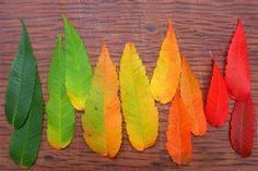 """O intrebare pusa adesea de copii: """"De ce isi schimba frunzele culoarea?"""" Afla raspunsul din acest experiment!"""