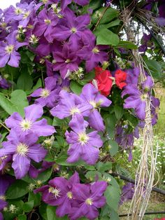 """'Jack Manni"""" clematis--need to keep roots cool, cut back each fall or spring"""
