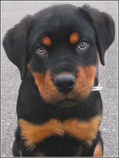 Image detail for -adulte le rottweiler pese environ 50 kg by x gixxie